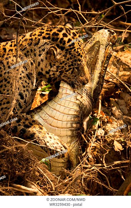 Jaguar dragging dead yacare caiman through branches