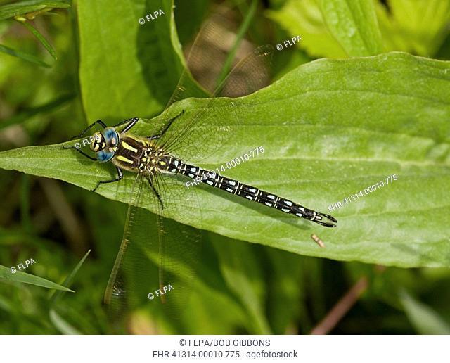 Hairy Dragonfly Brachytron pratense adult male, resting on leaf, Estonia, spring