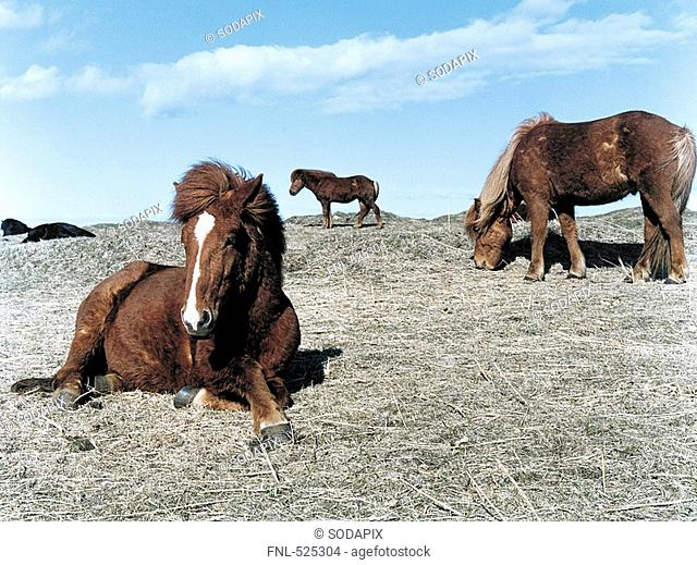 Iceland -lafsv²k Brimilsvellir Icelandic horse Iceland pony Iceland ponies Horse Horses Pony Ponies mane Brown Fox Nakedness Width Freedom Spring SnÁfellsnes...