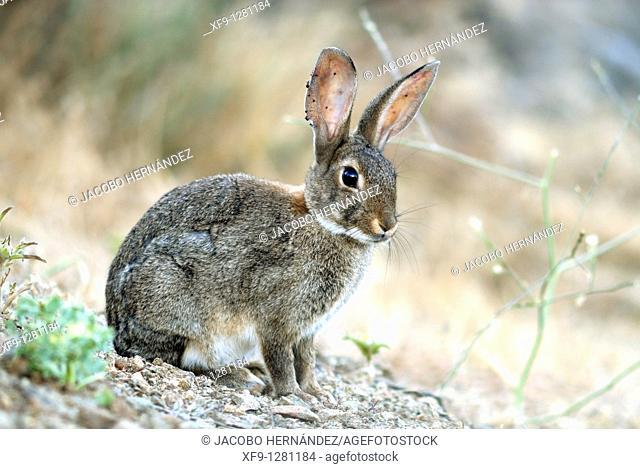 Rabbit.Oryctolagus cuniculus.Badajoz. Extrermadura.Spain