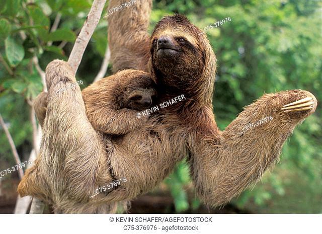 Three-toed Sloth and baby (Bradypus variegatus). Corcovado National Park. Costa Rica