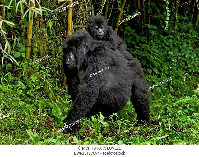 Mountain gorilla (Gorilla beringei beringei), Mother and baby MOUNTAIN GORILLAS (Gorilla beringei beringei) of the SABYINYO GROUP in VOLCANOES NATIONAL PARK