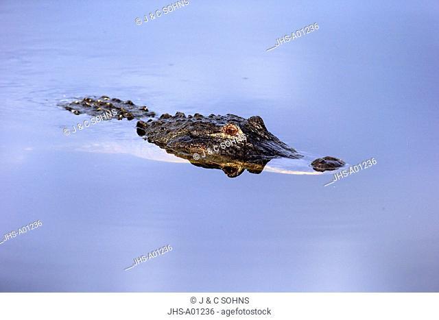 American Alligator, (Alligator mississippiensis), Wakodahatchee Wetlands, Delray Beach, Florida, USA, Northamerica, adult swimming in water