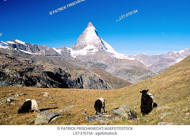 Blacknecked goats of Wallis. Matterhorn or Cervino. Alps. Switzerland