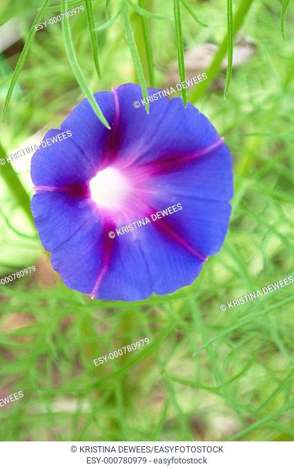 A blue and purple Morning Glory among Cosmo foliage