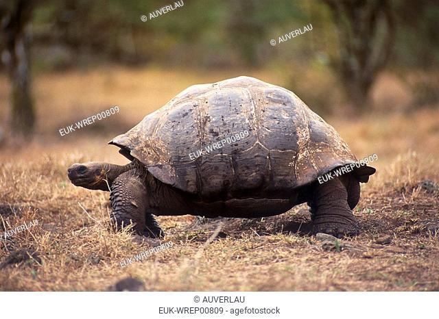 Galapagos adult