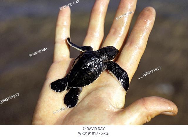 Hatchling green turtle in somebody's hand Chelonia mydas Playa Espumilla, Isla Santiago, Galapagos, Ecuador