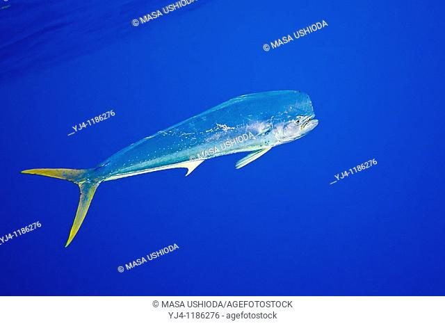 mahi-mahi, dorado, or common dolphin-fish, Coryphaena hippurus, Kona Coast, Big Island, Hawaii, USA, Pacific Ocean