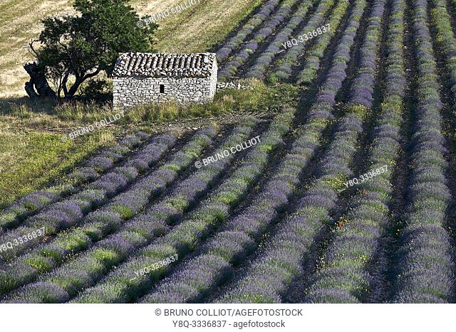ferrassiéres and its surroundings, fields of lavender, plateau albion. the drome, france