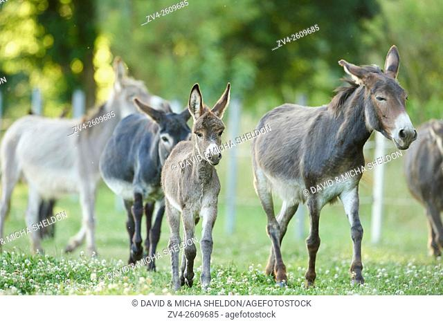 Close-up of a donkey or ass (Equus africanus asinus) mother with her youngster on a meadow in summer