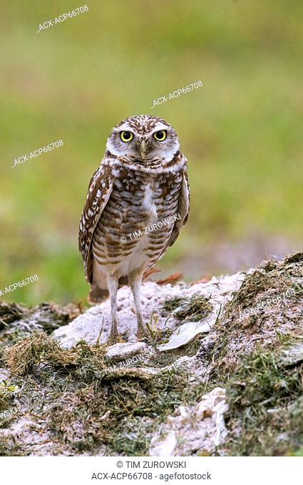 Burrowing Owl (Athene cunicularia) - Cape Coral, Florida