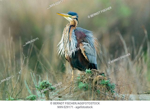 Purple Heron (Ardea purpurea), plumage care, marshland, flood-plain forest, near river Bojana, Montenegro (Crna Gora), river Buna