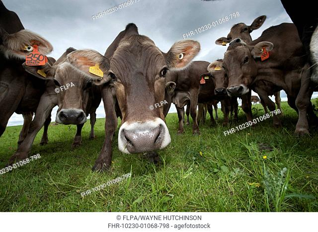 Domestic Cattle, Brown Swiss dairy cows, herd gathering around in pasture, Dumfries, Dumfries and Galloway, Scotland, June