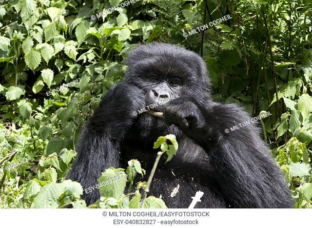 Young Gorilla feeding in the wild, Virunga National Park, Rwanda