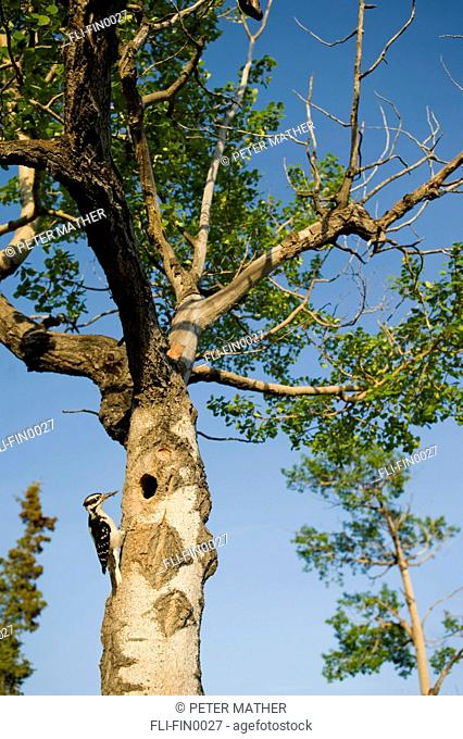 Hairy Woodpecker at its nest in spring, Whitehorse, Yukon