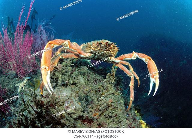 Eastern Atlantic Galicia Spain Great spider crab Maja squinado