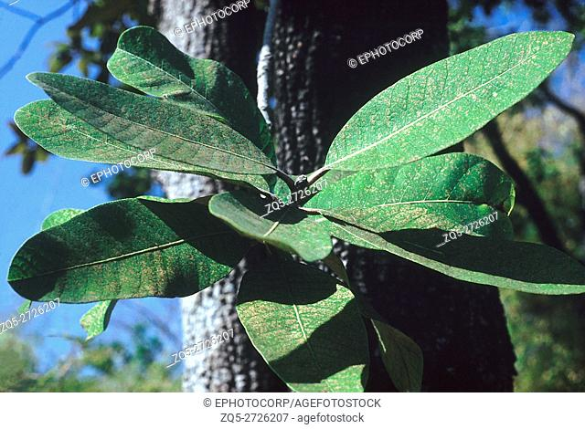 Leaves. Buchanania Lanzan. Family: Anacardiaceae. A medium sized deciduous tree with small edible fruit. The kernel of the seeds is eaten and is commonly called...