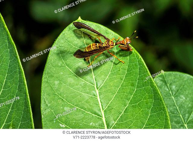 Mantidfly (Climaciella brunnea) Preening and Hunting on Indian Hemp (Apocynum cannabinum) Leaf