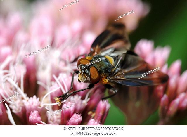 Parasitic Fly, Alophora hemiptera on Hemp Agrimony, Eupatorium cannubium, Wales