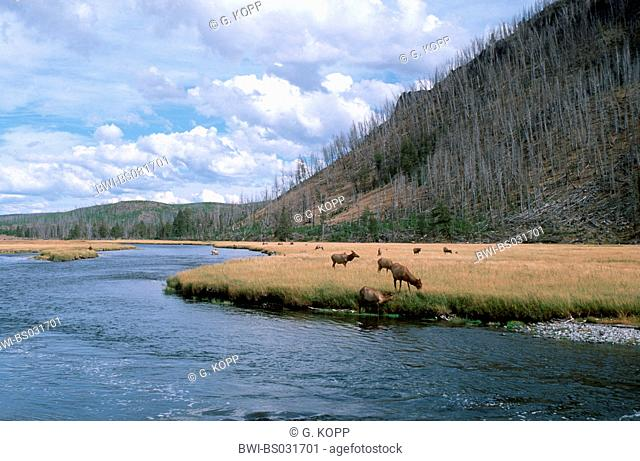 wapiti, elk (Cervus elaphus canadensis), grazing at the Yellowstone river, USA, Wyoming, Yellowstone NP