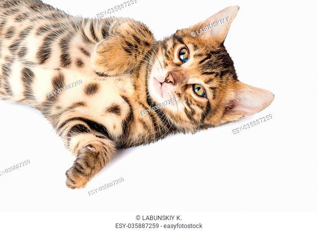 beautiful purebred kitten posing on a white background