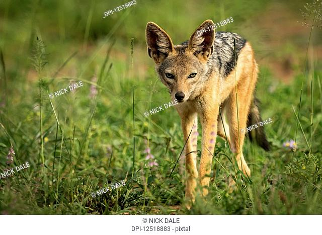 Silver-backed jackal (Canis mesomelas) stands in sunshine among flowers, Serengeti National Park; Tanzania