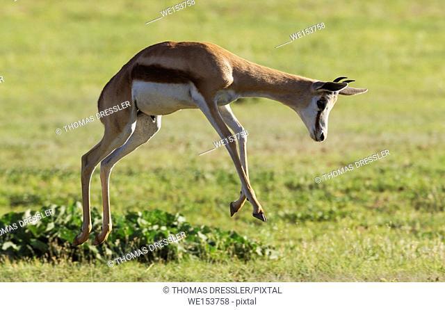 Springbok (Antidorcas marsupialis). Young male. Pronking. During the rainy season in green surroundings. Kalahari Desert, Kgalagadi Transfrontier Park
