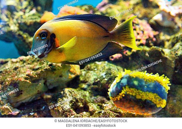 Naso tang fish, Naso lituratus in aquarium