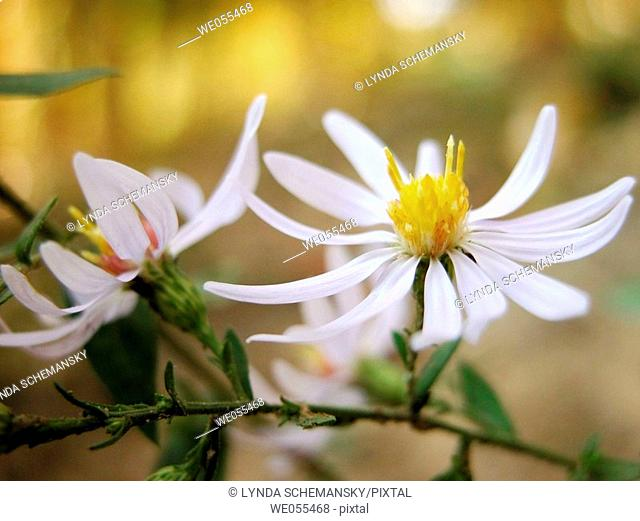 Wild Asters (Aster sp.)