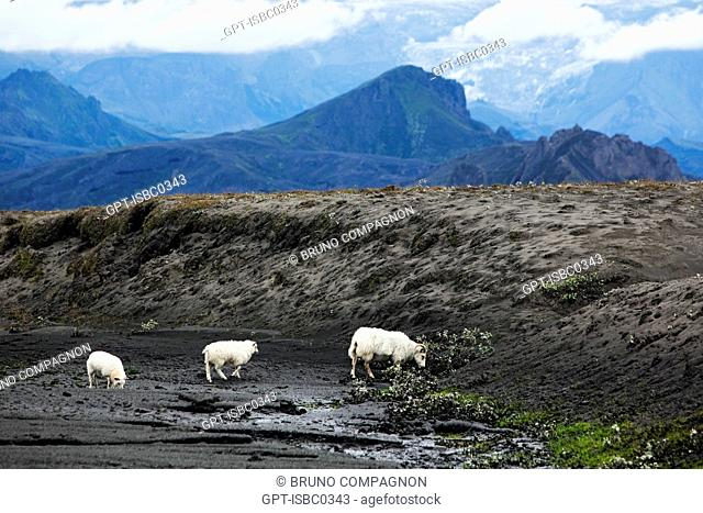 ICELANDIC SHEEP IN FRONT OF THE VOLCANO EYJAFJALLAJOKULL FOLLOWING THE ERUPTIONS ON MARCH 20 AND APRIL 14, 2010 THAT REQUIRED THE EVACUATION OF 800 PEOPLE AND...