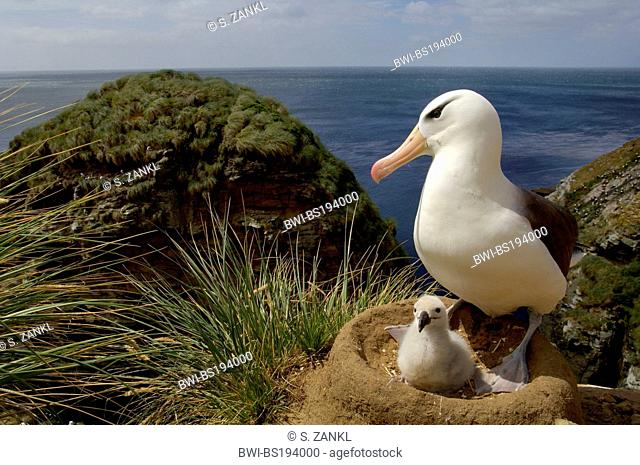 Black-browed albatross (Thalassarche melanophrys, Diomedea melanophris), parent with chick, Falkland Islands