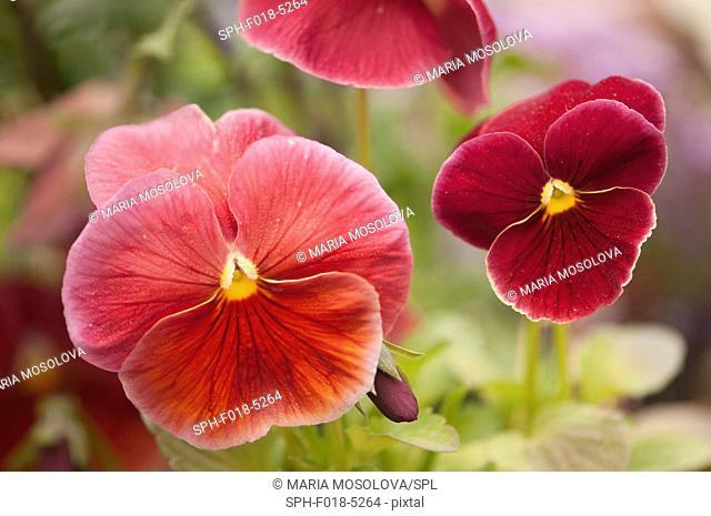 Red pansy (Viola x wittrockiana) flowers