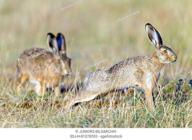 European Brown Hare (Lepus europaeus). Adult visits an older leveret. Germany