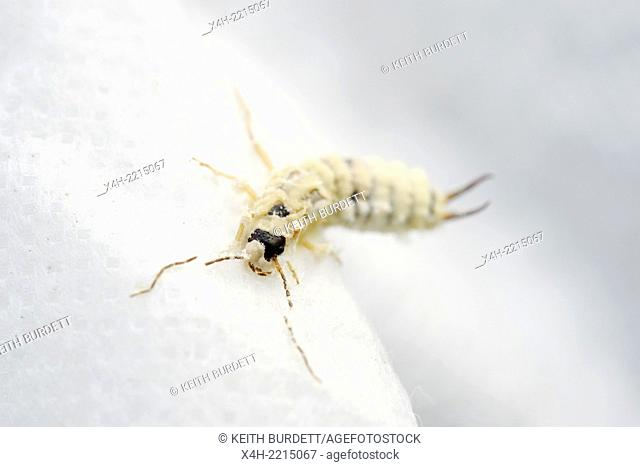 An entomopathogenic fungus (a parasite of insects) emerges from an infected Common Earwig, Forficula auricularia hibernating on horticultural fleece, Wales, UK
