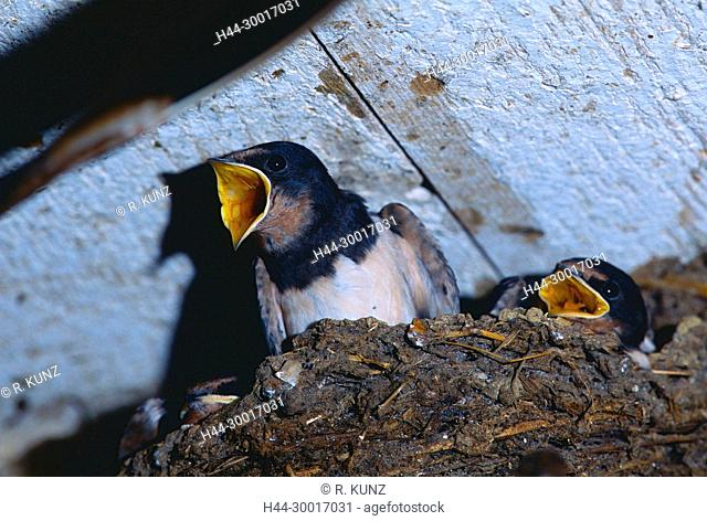 Barn Swallow, Hirundo rustica, Hirundinidae, Swallow, nestling, begging, nest, bird, animal, farmhouse, Grüt near Gossau, Canton of Zurich, Switzerland