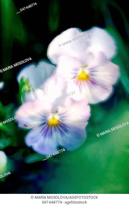 Two Pansies. Viola x wittrockiana. April 2006, Maryland, USA