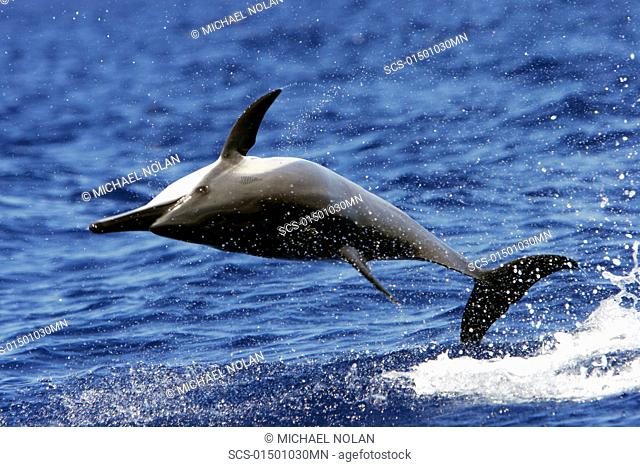 Hawaiian Spinner Dolphin Stenella longirostris 'spinning' in the AuAu Channel between Maui and Lanai, Hawaii, USA Pacific Ocean Resolution Restricted - pls...