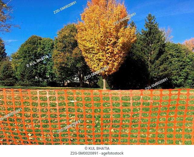 An Orange Colour plastic fence complements and provides a horizontal base for a tree glowing in fall colours in a park, Ontario, Canada