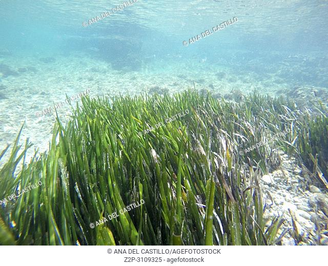 Posidonia Oceanica Snorkeling in Tabarca island Alicante province Spain