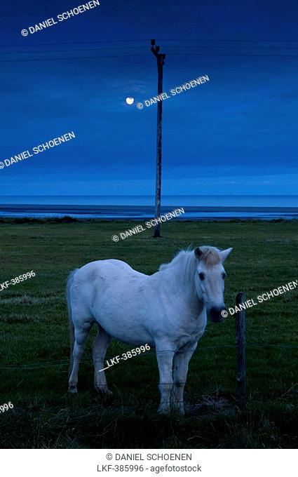 Icelandic horse in a field near Hofn, Iceland, Scandinavia, Europe