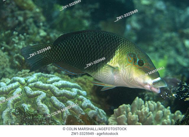 Male Blackeye Thicklip Wrasse (Hemigymnus melapterus, Labridae family), Baung Penyu (Coral Wall) dive site, near Blue Lagoon, Padangbai, near Candidasa, Bali
