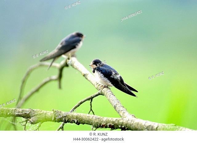 Barn Swallow, Hirundo rustica, Hirundinidae, Swallow, bird, juvenile, animal , Müritz National Park, Western Pomerania, Germany