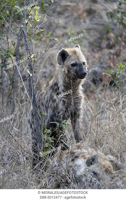 Africa, South African Republic, Mala Mala game reserve, Spotted hyena (Crocuta crocuta), young, resting on the ground