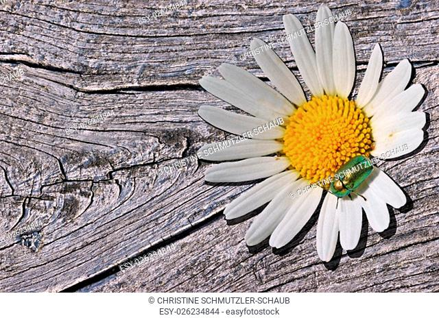 silky case beetle (cryptocephalus sericeus) on a daisy on wood
