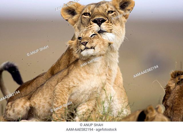 Lioness and cub aged 9-12 months - portrait (Panthera leo). Maasai Mara National Reserve, Kenya. Aug 2008