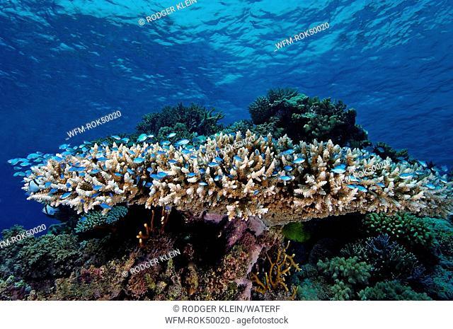 Coral Reef, Acropora digitifera, Ribbon Reef Great Barrier Reef, Australia