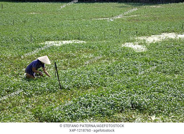Traditional harvest near Hoi An, Vietnam
