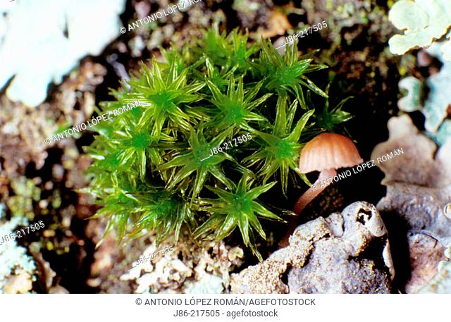 Fungus (Mycena corticola) beside moss on a trunk