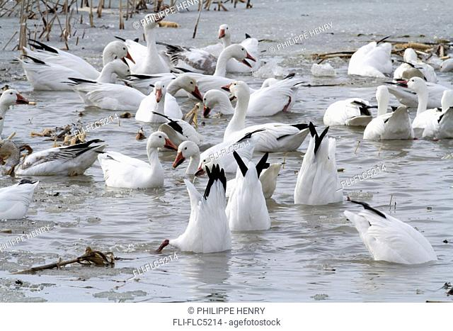 Group of Snow geese feeding in a flooded corn field. Chen caerulescens. La Baie du Febvre. Province of Quebec. Canada