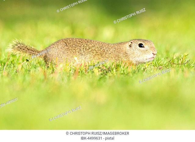 European ground squirrel (Spermophilus citellus) running in meadow, National Park Lake Neusiedl, Seewinkel, Burgenland, Austria
